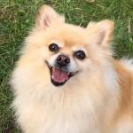 DOG_Sadie pomeranian